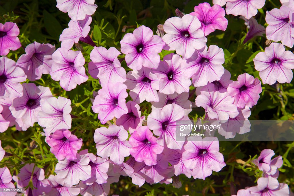 Pink petunias with purple centers : Stock Photo