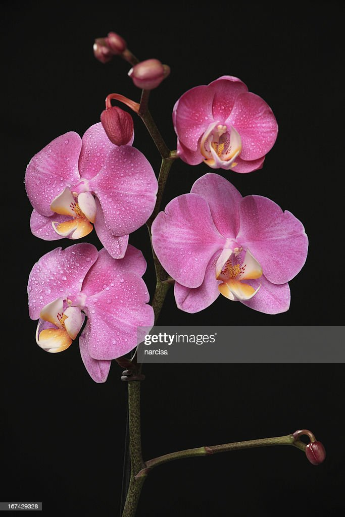 pink phalaenopsis orchid on black : Stock Photo