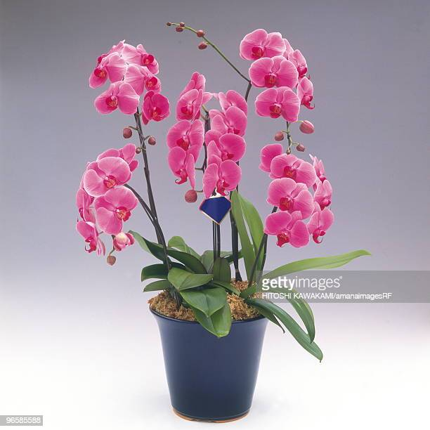 Pink Phalenopsis Orchid