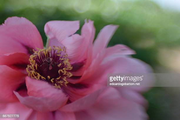 pink - edoardogobattoni stock pictures, royalty-free photos & images