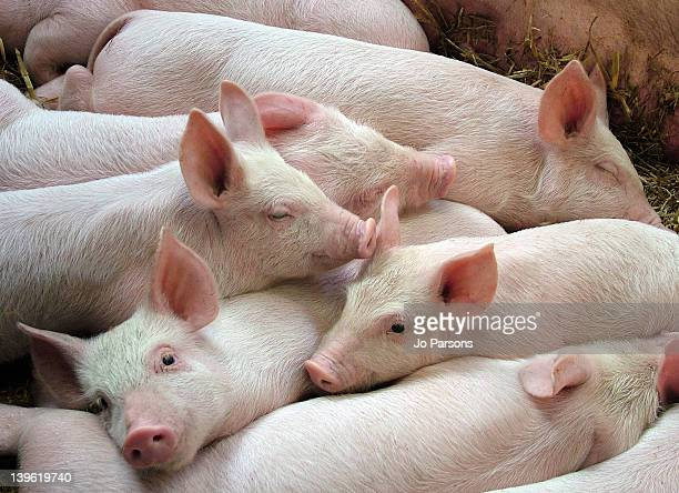 pink piglets - pig stock pictures, royalty-free photos & images