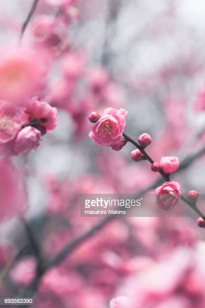 pink plum blossoms - blossom stock pictures, royalty-free photos & images