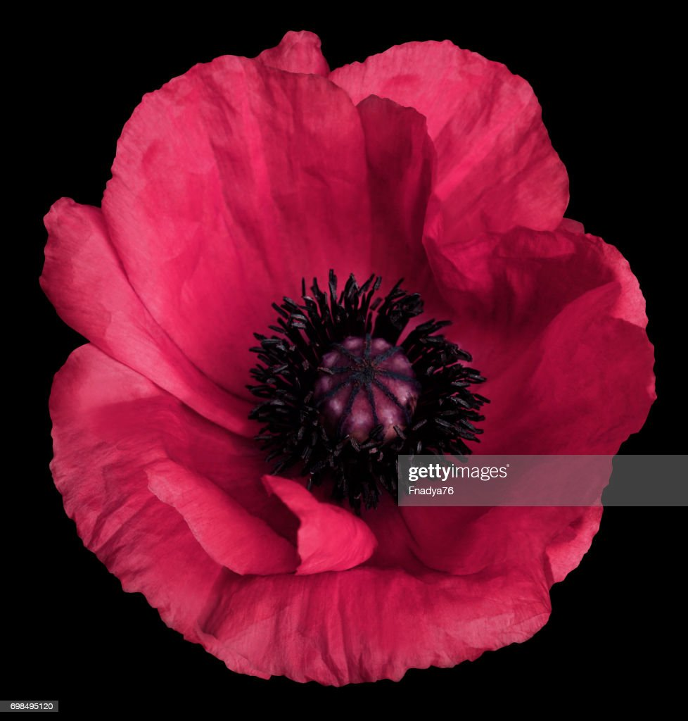 Pink Poppy Flower On The Black Isolated Background With Clipping