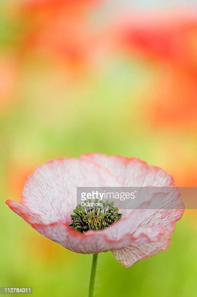pink poppy - ogphoto stock photos and pictures