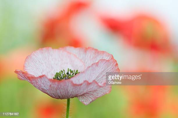 pink poppy - ogphoto stock pictures, royalty-free photos & images
