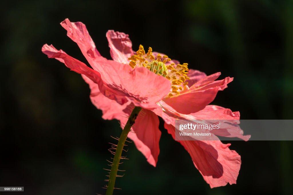 Pink Poppy : Stockfoto