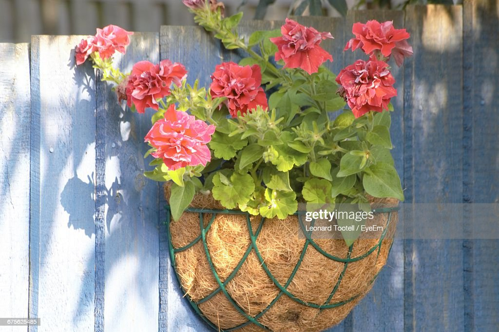 Pink Potted Flowers On Fence Stock Photo Getty Images