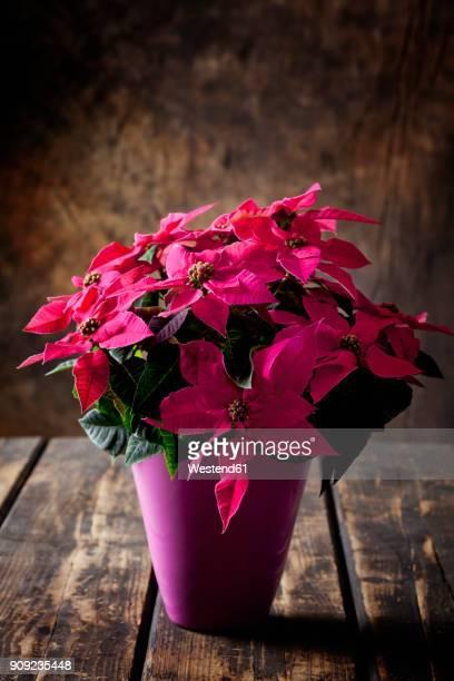 pink potted poinsettia on dark wood - flor de pascua fotografías e imágenes de stock