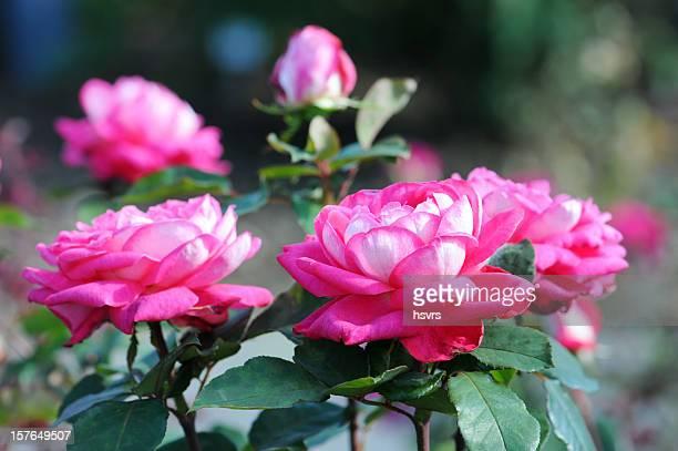 pink Nadel-Rose