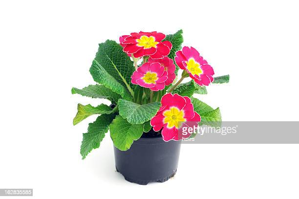 pink Primula Primrose (Temperate Flower) isolated white background