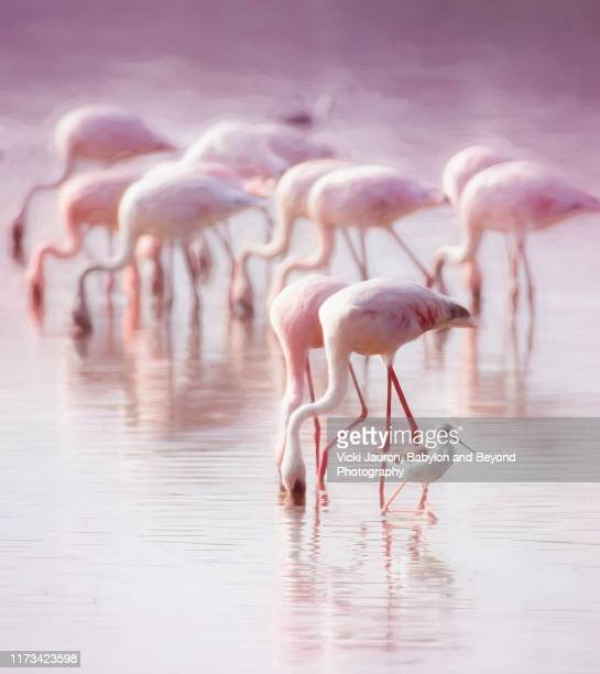 pink, purple and greater flamingos in amboseli, kenya - animal stock pictures, royalty-free photos & images
