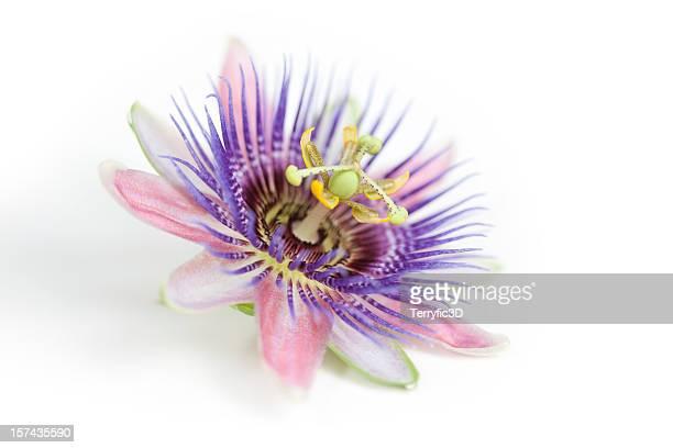 Tropicale viola e Fiore della passione su bianco