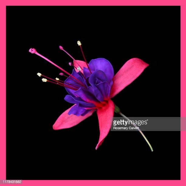 pink & purple fuchsia flower on black with pink border. - black border stock pictures, royalty-free photos & images