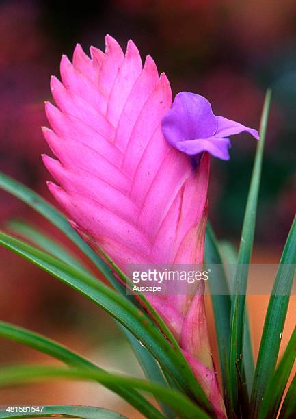 Pink quill, Tillandsia cyanea, close-up of flowering stem with one emerged flower