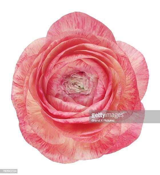 Pink Ranuncula
