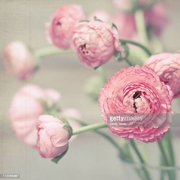 Pink ranunculus flowers in a glass vase