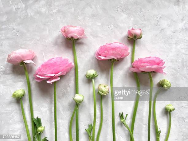 Pink ranunculus flowers in  a row