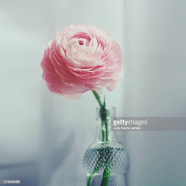 Pink ranunculus in bottle