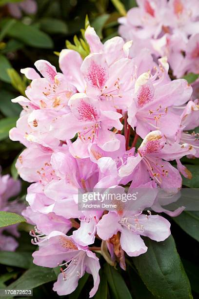 pink rhododendron - andrew dernie stockfoto's en -beelden
