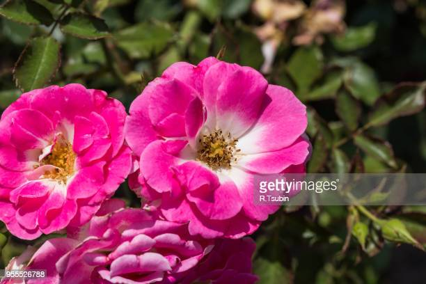 Pink rosa dumalis. This is a flower, wild rose