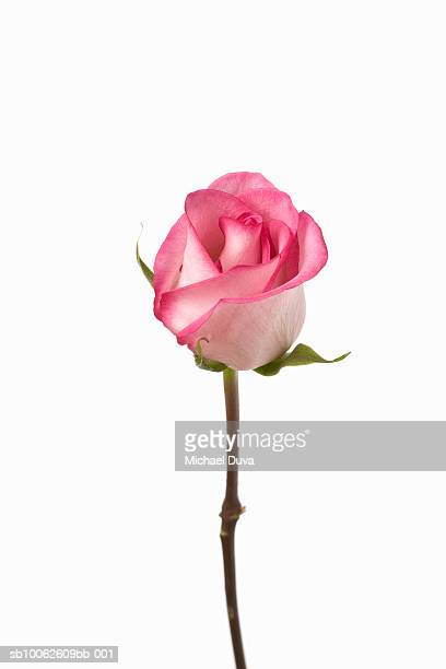 pink rose against white background, close-up - pink imagens e fotografias de stock