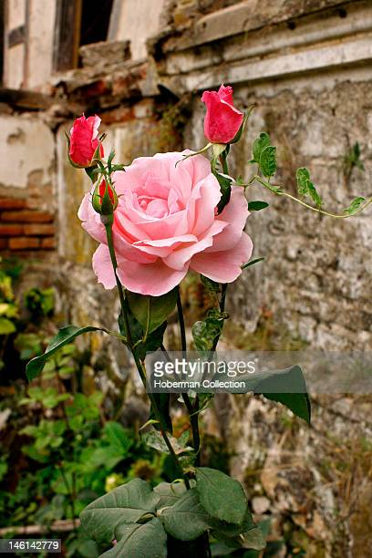 Pink Rose and Rustic Building Chile