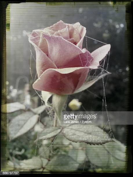 Pink Rose And Spiders Web