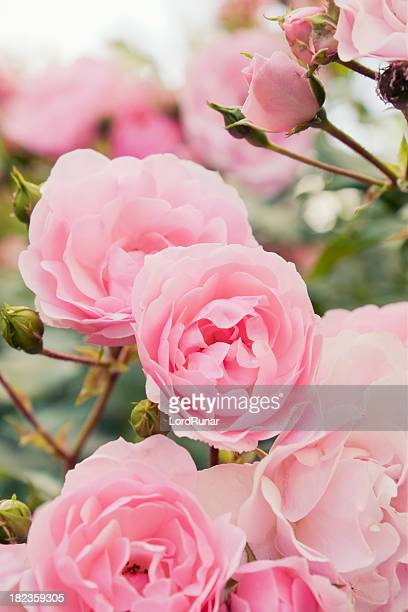 pink rose bush - pink flowers stock pictures, royalty-free photos & images