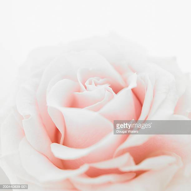 Pink rose (Rosa sp.), close up