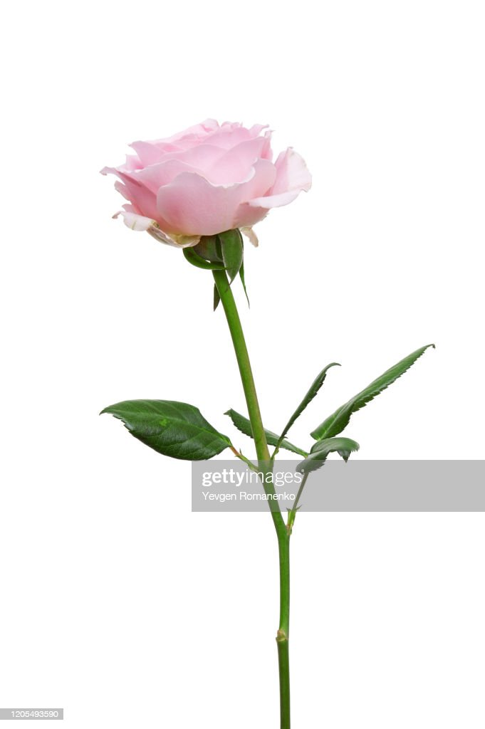 Pink rose flower isolated on white background : ストックフォト