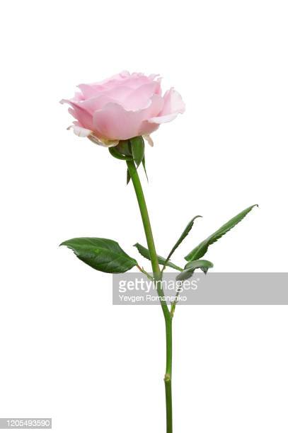 pink rose flower isolated on white background - single flower stock pictures, royalty-free photos & images