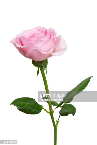 pink rose flower isolated on white background - 束 ストックフォトと画像