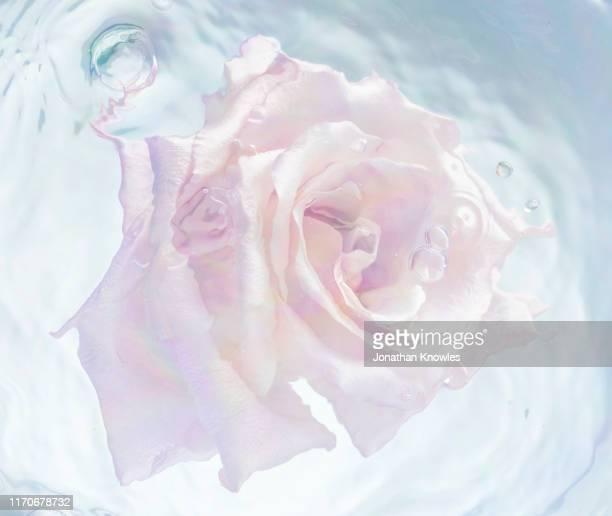 pink rose head floating in water - light natural phenomenon stockfoto's en -beelden