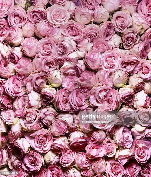 Pink Rose in full frame