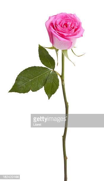 Розовая Роза изолированные на белый