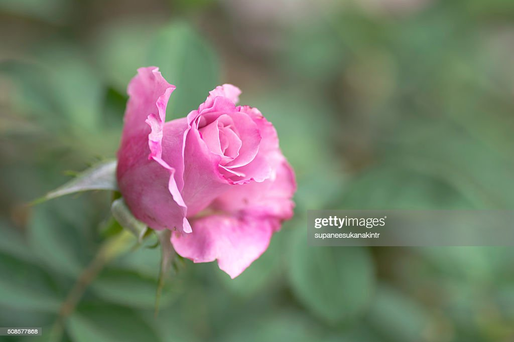 Pink rose on blurred background . : Stockfoto