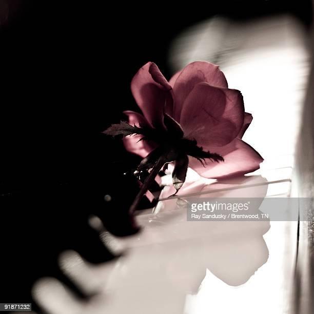 Pink Rose on Grand Piano Keyboard
