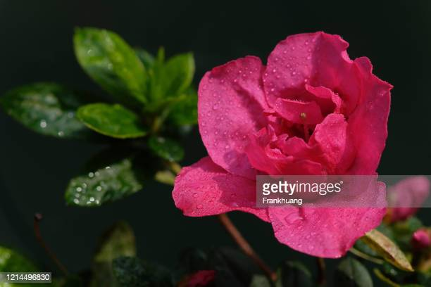pink rose natural background