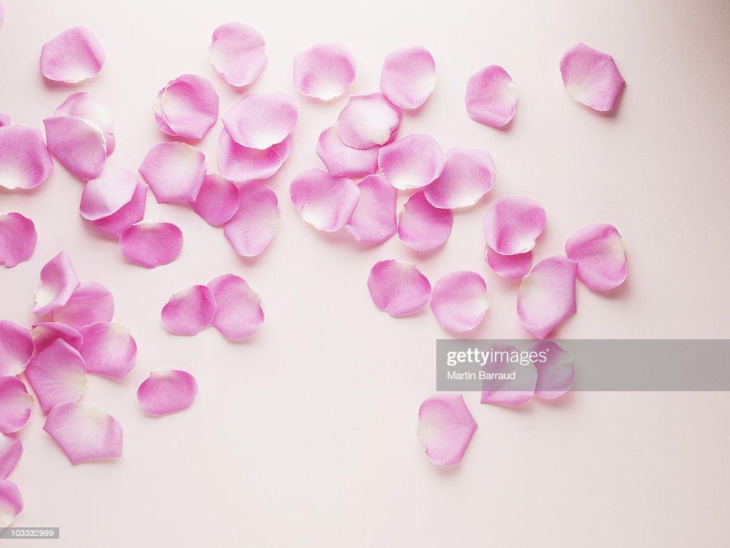 Pink rose petals : Stock Photo