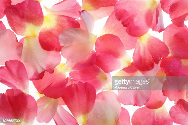 Pink rose petals scattered on white.