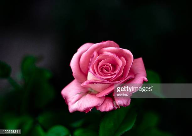 pink rose - annfrau stock pictures, royalty-free photos & images