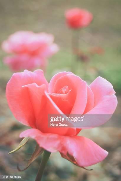 pink rose - neha gupta stock pictures, royalty-free photos & images