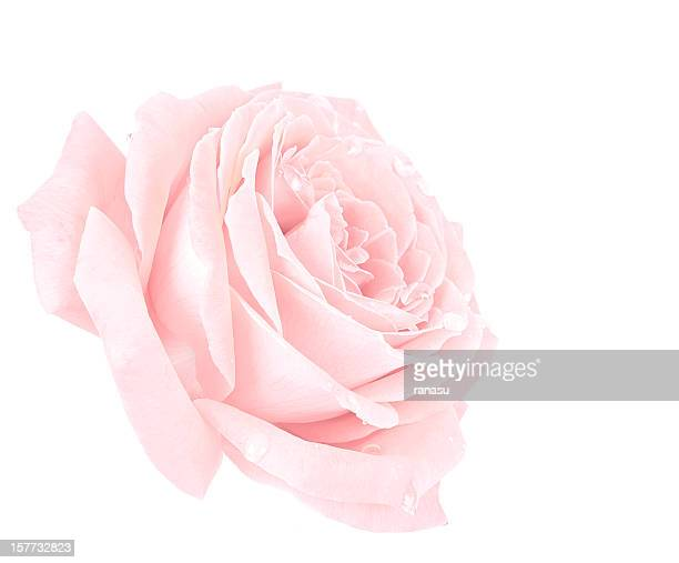 pink rose - rose stock pictures, royalty-free photos & images