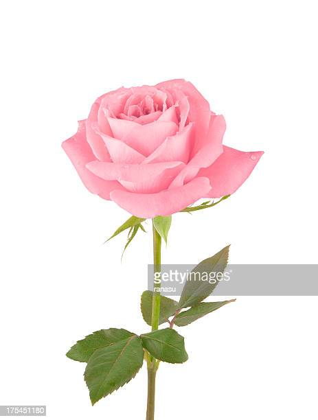 pink rose - pink flowers stock pictures, royalty-free photos & images