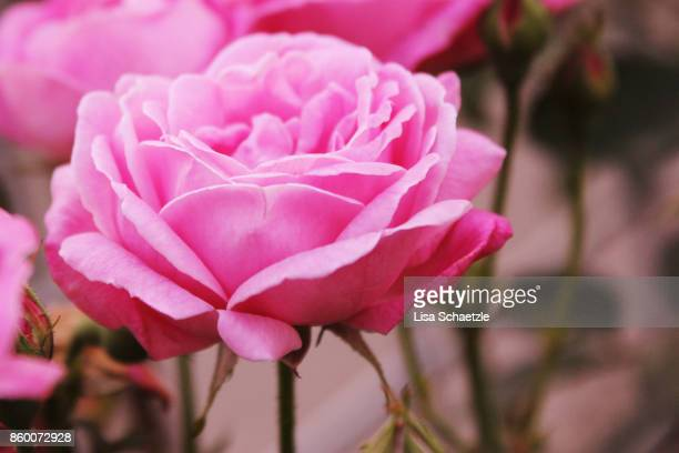 pink rose - rose colored stock pictures, royalty-free photos & images
