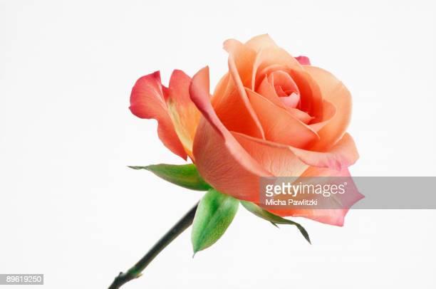 pink rose - rose photos et images de collection