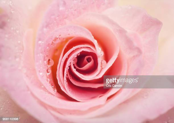 pink rose with water drops - dew stock photos and pictures