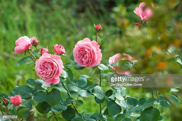 Pink roses growing on bush