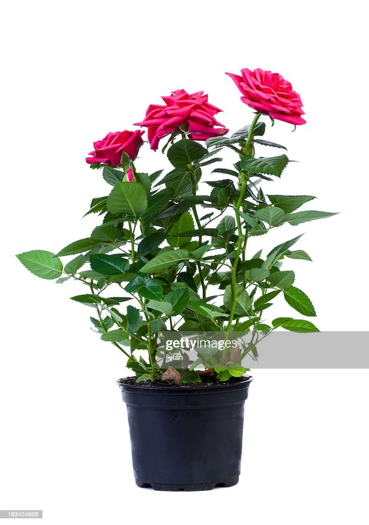Pink roses in a black flower pot on white background : Stock Photo