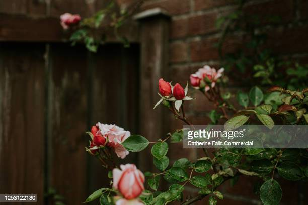 pink roses in a garden - red roses garden stock pictures, royalty-free photos & images
